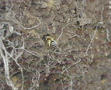 abeille-sauvage-cezon